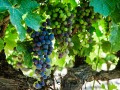 chateaudelagarde-vignes-3
